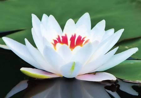 Flor-de-Lótus-branco